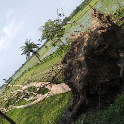 Due to the heavy storms in our Satkhira in Amfan, many people have lost their lives as they have uprooted huge trees near our village.