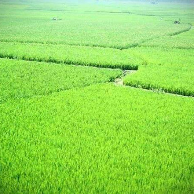 Here you can see a picture of a field in Bishalgarh.  It is located in Gobindpur village of Satkhira district.  I took the field view from the street in front of my house.  It looks very nice.  You can see here that many green crops have been cultivated in one field.  These look very nice.  You can see here that paddy has been cultivated in pieces in a field. It is very nice to see these. You can see that the farmers have worked hard to cultivate paddy.  And from earning money and making a living from it.  We can see that the land is irrigated through a machine in the middle of us.  We can see that a lot of people are working here.  You see that we have to cultivate crops on land and spend a lot of money and we can see that we have cultivated a lot of paddy here.  I can see the field view here is very beautiful.