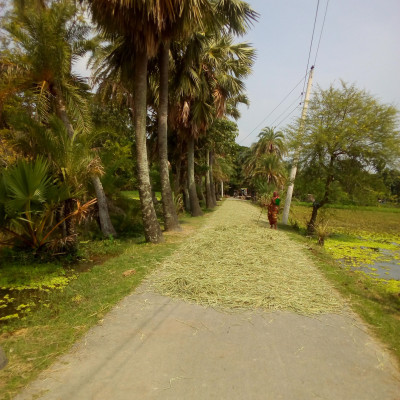 This picture shows a road here and there is a paddy field scattered on the road.  The man is coming and shaking the paddy and there are big palm trees next to it.  This is a picture that you can see. This picture looks very beautiful.  Photo taken from Baradal, District Satkhira, Bangladesh.  It's hard to see this picture as beautiful as it looks.  Because the road on which the man has moved many paddy trees is all wet.  They have chosen this method to dry the paddy plants because they have sunk. Otherwise, they will not be able to take them and will not be able to raise cows and goats at the same time.  Because cows and goats will definitely need these.  That is why he is suffering so much.  Such an environment looks very beautiful.  There are only green and green paddy fields all around and these trees look very beautiful.  People come and sit in this place when they have time.  And there is a lot of cool air in the book all the time.