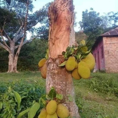 This jackfruit tree of mine has been shattered due to the cyclone phone. There are only a few places in it. It is full of blessings of Allah. Inshallah. Thank you for this. All You can see this scene in Gaoghati village of Kaliganj police station of Satkhira district of you, thank Allah.