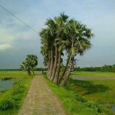 Here we see a picture of a street.  This picture looks very nice.  It is located in Machkhola village of Satkhira district.  We can see here that a brick road has been built.  In rural areas, we usually see people traveling by road.  And it looks very nice to see a lot of palm trees on the side of the road when we see a lot of rain on the road.  We can also see that a man standing on the side of the road has been cultivating a field of paddy on the side of the road.  These look very nice.  We can see that some places are empty.  And it looks very nice to see the green grass water in some lands.  When we look at the field, it looks green. We see where there is a village.  People live there.  We look so beautiful we can see white clouds floating in the blue sky above.  These look very nice.