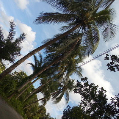 Friends, this picture shows some coconut trees.  There are many nickels in the coconut tree and this picture was taken from Balitha in Satkhira district, Bangladesh.  The environment here is very beautiful with green plants all around.  The picture also shows that the road is very beautiful and there are many coconut trees beside it.  There are many more types of plants like Erakom and the environment is as beautiful as it looks.  Fruits are obtained from these trees. Its name is coconut fruit. This fruit has many names. Because it is called dab when it is small.  And when it is a little bigger, it is called coconut.  And if it is not planted from a tree, then it becomes a new tree.  Coconut is used only in making different types of cakes.