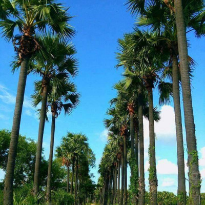 We can see that Khan has a beautiful road.  It is located in Jessore district of Bangladesh.  We can see many rows of palm trees on both sides of the road. It is very beautiful to see the palm trees.  We can see that there are palm trees in two rows of the road so it is very nice to see the road.  It seems that the mind is getting fascinated.  We are very happy to see this picture.  I hope you like it too.  You can see that paddy has been cultivated in huge fields on both sides of this road.  It looks very good.  We can see that the green leaves are full. Farmers cultivate paddy by relieving a lot of hardships.  And to be economically profitable.  We can see a village here, a village where people live.  And travels from the main point of their journey to another place.  We can see more that looks very good.  We can see white clouds floating in the blue sky above.  These look very nice.  I hope you like it.  If you like it, please like, comment and share.