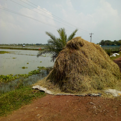 Friends, this is a picture of a gathered rice plant.  Photo taken from Gobindpur District Satkhira, Bangladesh.  The people here have chosen this method to dry these.  Because these trees need to be dried.  The surroundings here are submerged in water.  Paddy trees are drowning in the water.  So people cut them, pick them up, dry them and separate the rice from them.  Then the trees dry up on the road. Again when it rains.  Then they are gathered in one place.  These trees are used as cattle food. The people here have nothing like this now. Because they have been looking at these for a long time. If the trees in the picture are good, they are worth a lot.  Because these are sold.  People have to dry the trees in the picture with great difficulty.