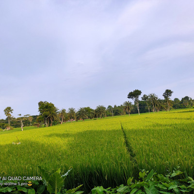 Paddy field,  Natural beauty, in the picture we can see a large field.  There are paddy trees in the field.  Surrounded by a green forest on the side of the field, this picture is a scene of natural beauty.  The sky is very beautiful.  The amazing natural diversity has enveloped rural Bengal.  The beauty of the village is unsurpassed as far as the eye can see the green fields and the splendor of the saunali crops.  The small houses are like a blue of peace.  The beauty of water lilies or lotuses floating in the water of ponds or beels fascinates people.  Eternal village is fascinated by this breathtaking beauty of Bengal.  The village is the nest of shade, the nest of peace, the nerve connection of the Bengalis with the countryside.  The picture was taken from Balitha village. I hope everyone will like the picture.  Thanks