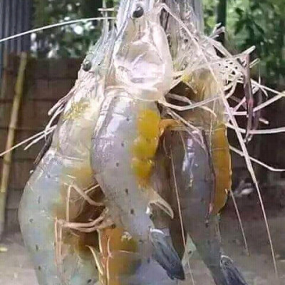 You can see the picture of a shrimp fish. Srinivas is a favorite of all of us. It is a famous fish for Satkhira district. This fish is exported from Satkhira district to foreign countries. The price of shrimp is very high. The fish is farmed in the salt water in the ponds around us.  We're badYou can see the picture of a shrimp fish. Srinivas is a favorite of all of us. It is a famous fish for Satkhira district. This fish is exported from Satkhira district to foreign countries. The price of shrimp is very high. The fish is farmed in the salt water in the ponds around us.  We're badYou can see the picture of a shrimp fish. Srinivas is a favorite of all of us. It is a famous fish for Satkhira district. This fish is exported from Satkhira district to foreign countries. The price of shrimp is very high. The fish is farmed in the salt water in the ponds around us.  We're bad