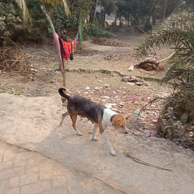 People in rural areas of our Satkhira district of Bangladesh like to keep dogs. Here in the picture we can see a dog walking on a rural road. It is a beautiful dog. It is very good on the nature of Bangladesh because we can protect our house from many damages by keeping dogs at home.  In our Satkhira district of Bangladesh, people in rural areas like to keep dogs. Hey, through dog post, when they are at the father-in-law's house, when we go to sleep at night, the dog can guard the whole house.  And can save us from various thieves. Here in the picture we can see a dog walking in the countryside and this dog can be seen in almost every house in our village. The dog has a very good hand and they love to walk in a very nice and peaceful way.  The dog can be seen guarding our house for the rest of his life if we can raise him properly. The dog scene you see here is taken from the road in Gobindpur village area of ​​Satkhira district.