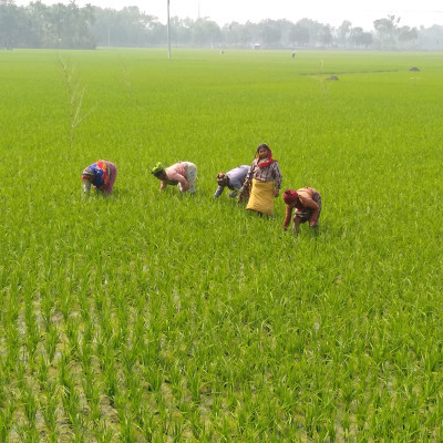Paddy Planting: A total of 64,000 villages of Bangladesh and 64,000 villages of Bangladesh have an agricultural area of ​​56,000 sq. Km.  Bengali and very easy and could not be criticized and their only source of economic income is agriculture and half of the total population of Bangladesh is 21 crore women and this women's society has played a huge role in the people of Bangladesh and in agriculture because any country in Bangladesh must improve  The women's society in that country needs to improve because the women's society in Bangladesh has not improved so much. They have not yet reached the light of education among them. They are still alive due to various religious prejudices and moral decay and they are not very interested in any work.  They have to play a role for the country and they must be made aware and educated and men  Besides, if women's society plays a leading role, then this country can be expected to develop one day and because in a country where half of the total population, women and women have not come to work in the country, tomorrow Bangladesh is an agricultural country and the country's main crop is pulses and paddy.  As a result, the paddy fields are overgrown with weeds or grasses. They must damage the crops and to protect them from crop damage, the grasses must be removed from the land and this is what some women are doing here.  Being self-reliant because they are paid a fixed wage of Rs. 200 per day and by doing this men as well as women are playing a big role in agriculture so all women in Bangladesh need to be enlightened in the light of education  This picture was taken from the ground up and it is seen that women are working on the grass in this land on a large scale and as a result of this work these opportunities will be better and better.  Besides Bong, Maidan is playing a leading role in the agricultural sector. If it plays a leading role in every district and upazila of Bangladesh, then it will become a country and women will have to be enlightened in the light of education.