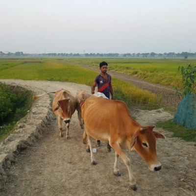 Introduction: The name of our country is Bangla Desh.  There are many families in this country who are very poor.  They keep livestock for their livelihood.  The cow is a domesticated animal and this cow is usually kept in human house.  People keep this cow and collect milk from this cow and collect beef.  Only cows give milk and not meat.  This cow is used in many agricultural lands of Bangladesh.  No land is used for making cows and besides cows, there is an elephant and a horse.  This horse is used to prepare the agricultural land of Bangladesh.  Cows and horses work on buffalo lands and they work on these agricultural lands for crop production.  Here it is seen that a shepherd is taking a cow and two horses to the field to prepare his land and when the agricultural land is ready he will produce the crop.  It is seen that he has his own land and prepares the land of others.  Thus he earns two to three thousand rupees every day.    Located: Bangladesh Dinajpur District Shyamnagar Village Road and this Shyamnagar village has a lot of agricultural land and these few lands are prepared with these cows and horses and by preparing these cows and horses this brother earns a lot of money and is raising cattle in Bangladesh.  Now a lot of people have been raising cattle from ancient times to modern times.  Hey raising cattle is becoming financially self-sufficient.  Here is a picture of you.  In a poor country of Bangladesh, he has been able to live in peace with his family by paying a lot of money and by working with these cows on agricultural land, he has been able to alleviate the unemployment of many unemployed youth.