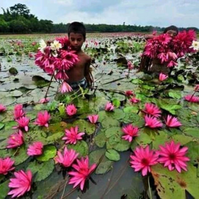 It is a huge haor in West Bengal, India. Lots of water lilies are blooming in this haor. These are all red water lilies. Haore looks very beautiful due to the abundance of red water lilies. This place is very beautiful. Here are two children. They are fetching water lilies from this haor. They are both children of very poor families. They cook and eat those shuffler trees. People in the countryside eat all these water lilies. These children pick up water lilies and sell them in the market. They make some money by selling these in the market. This benefits their family at least a little. They pick water lilies and sell them in the market every day. It is a famous haor in West Bengal. There are a lot of fish in this haor. These fish are very tasty to eat. Many types of fish are found here in this haor during the rainy season. Many fish are found here even after the monsoon.