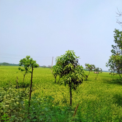 The picture presented here is captured by me while going outside. There are paddy plants and it seems heavenly. There are also mango trees that have many green leaves that symbolize youth, freshness and greenery. The picture has made me immensely spellbound immediately after seeing the picture. I captured the picture from Satkhira District. Most probably your heart will leap with incessant heavenly radiance by seeing the picture.  I wholeheartedly beseech to go such place so that I can get enough points.