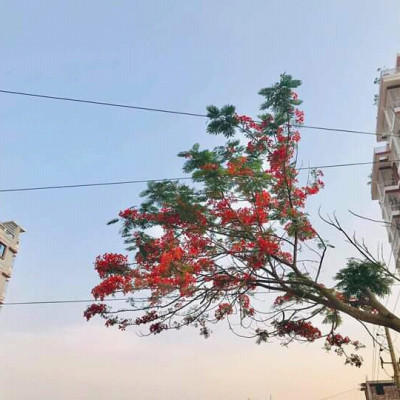 This multi-storey building is located in Aftabnagar, Dhaka.  In front of the multi-storied building there is a black-crowned tree with stalks.  The whole city is full of red flowers.  Anyone will be fascinated to see the red-flowered branches of the tree.  Because those of us who live in Dhaka rarely see nature.  Krishnacura trees are rarely seen on the road, especially in front of such houses.  I was very happy to see the Krishnacura tree there. As I was passing over Dhaka city, I saw this beautiful tree. I was fascinated to see this tree.  Because such a flower-filled tree is not found in the heart of the city.The multi-storied building has a beautiful sky and the branches are full of red flowers and trees.  All in all, spring has come, it looks wonderful.  A tree has created an impossible beauty in this nature, so we must always plant more and more trees.  And the balance of nature must be maintained.  As well as to enhance the beauty of nature.