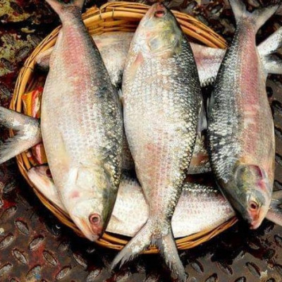 This is marine fish hilsa. It is our national fish. Hilsa does not have any scales. It is very popular. Its popularity is not only in Bangladesh. It has gained popularity in other countries including India. Hilsa is very tasty to eat. So hilsa should be eaten. Hilsa is fried, mustard is very fun to eat hilsa.