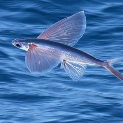 There are many species of fish that we do not know. This is Urukku fish. Surprising to hear, but it is a marine fish. These fish can fly. They live in water. It can fly again. It is very interesting to see this fish. This fish is called marine fish as it is found in the sea.