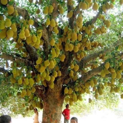 What we see in this picture is a jackfruit tree with a lot of boys and girls and a woman. It looks very beautiful and interesting to see the human heart.This jackfruit tree shows that a lot of jackfruit has been born.  Looks so awesome.  This scene is located in Bangladesh.  It is located in Zeyala village in Satkhira district of Bangladesh.  The picture is very beautiful and interesting to look at.  It's a scene that takes people's minds away. It's a blessing from God. There are a lot of jackfruits on a jackfruit tree.  It's very nice to see the picture and it looks nice. It will take away people's hearts. It looks very nice to see who will block Chahat.There are so many beautiful and interesting things to see