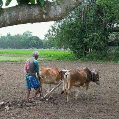 What we can see in this picture is a field. The field is very big. The picture looks very beautiful and interesting. Here it is seen plowing with an old cow. The picture looks very beautiful. The heart of the people will shake.  It is very nice to see the neighbor grandfather is very nice and attractive to take the heart of the people. It is very nice to see the scene. It will take the heart of the people. It will take the mind of the people. It is seen.Here it is seen that the old man is cultivating the land in a very beautiful way by plowing the land. It is very beautiful and interesting to see the picture.Palace Satkhira City Bandhan Danga Village.