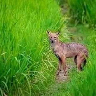 If we can see in this picture, it is seen in the gap in the paddy field. The name of this animal is fox.  The fox clever fox went to the man's house and saw the ducks and chickens at home.  It is very nice to see that it is going to be very beautiful and interesting.  Here it is seen that the fox is in the middle.  The picture is very nice to look at and will captivate people.  It looks very nice, it looks very nice once you go inside.  He will no longer be found and will be lost.  The picture is very nice to look at and like.  The human heart will fascinate the human mind.