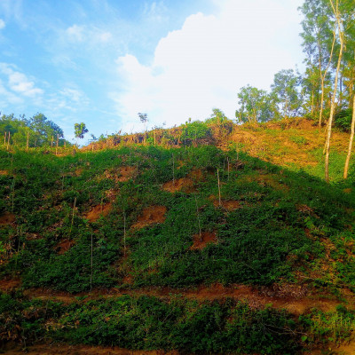 Bangladesh is a country of natural beauty. There are many rivers, canals, beels, hills and mountains in this country. The natural beauty of the hill can be seen here. This hill is located in Nalitabari police station of Sherpur district. It is a red mountain soil red. There are small shrubs and big trees in the hills. This hill is known as Magan to everyone in the area. Bamboo poles can be seen on the hill, tree saplings have been planted with bamboo poles. The saplings have been planted for ten years. The trees will be cut down after ten years.