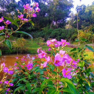 The picture was taken from Garo hill of Nalitabari police station in Sherpur district. This flower is a kind of mountain forest flower. The flower is very beautiful to look at. This flower is purple in color. It is a shrub-like flowering plant.  This fruit is especially abundant on the banks of mountain springs. There is a pond with the flower tree. This flower is known to the people of the area as chocolate flower. Because when the flowers bloom and fall, the tree bears fruit. The fruits turn black when ripe. Many mountain birds and trees eat the fruit.