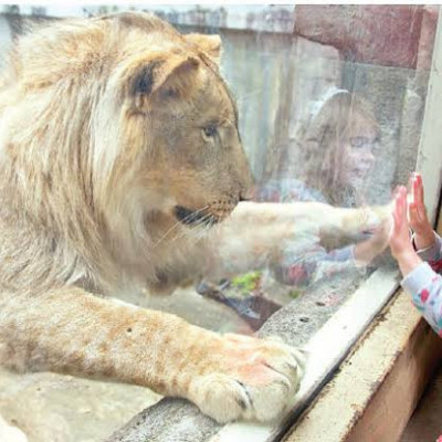 This picture shows a lion and a girl where this lion is trapped inside a glass wall and surrounded by this lion and here it is seen this lion is very big and here it is seen this lion is standing in front of a baby girl and this girl is this lion  Not saying anything and non-violent animals love little kids and all sorts of little things and here we see this lion with his hands on the glass and a baby girl with his hands on it and this picture looks very beautiful and a picture of a zoo and an animal.  The name is Singh and it is located in Dhaka city