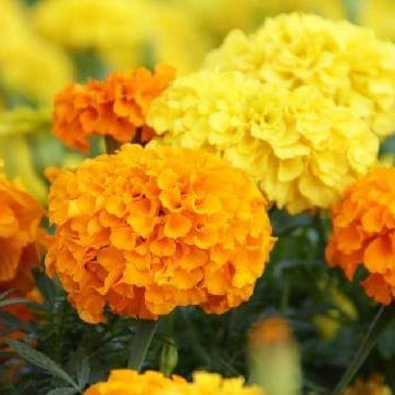 The picture you see is a picture of a flower.  The name of the flower is marigold.  A very beautiful flower.  Marigold flowers but used in weddings.  But the living room is decorated with marigold flowers.  Decorated houses look very beautiful.  You will see that there are many flowers.  But it is good to see so many flowers together.  Marigold flowers are commonly used in wedding ceremonies.  The scent of marigolds is very beautiful.  I hope you like it too.  Decorating a private car with marigold flowers looks very beautiful.  Private but mp4mania can look so beautiful with marigolds I hope you like it