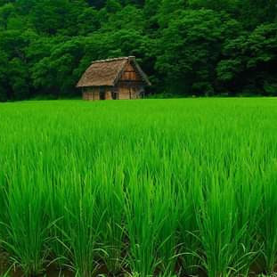 Natural beauty, in the picture we can see a small house, there are paddy fields around the house.  There are big trees on one side of the house.  The sky is also very beautiful, decorated in different colors.  The amazing natural diversity has enveloped rural Bengal.  The beauty of the village is unsurpassed as far as the eye can see the green fields and the splendor of the saunali crops.  The small houses are like a blue of peace.  The beauty of water lilies or lotuses floating in the water of ponds or beels fascinates people.  Eternal village is fascinated by this breathtaking beauty of Bengal.  The village is the nest of shade, the nest of peace, the nerve connection of the Bengalis with the countryside. The scene is like a cuckoo basket called Palash and the paddy field playing with the waves of the enchanted wind.  The picture was taken from Balitha village. I hope everyone will like the picture.  Thanks.