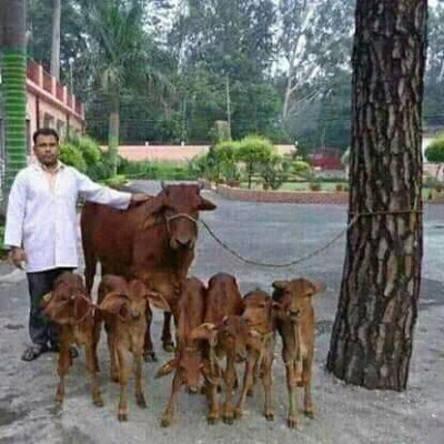 You can see this person standing with his hands on the shoulders of his cows. He can see six calves in front of him. In fact, this is a good thing. You see, there are 6 calves and this person is very happy to have a calf in it.