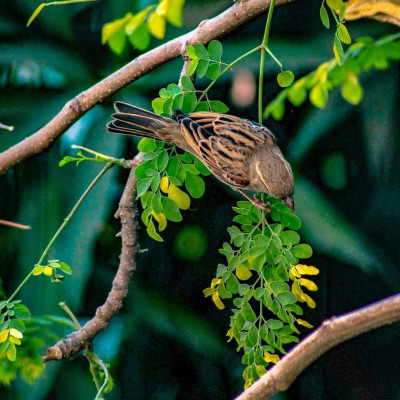 You can see a scene in Shashadanga village of Satkhira district where a sparrow comes and eats its food in a military tree.