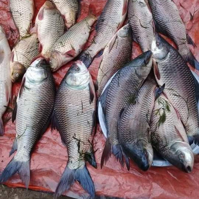 Fulbaria morning fish market Kaliakair Gazipur.  Such fresh fish is available in the village market.