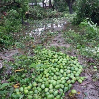 Mango is everyone's favorite fruit.  However, for many people, mango means livelihood.  Many mango orchards have been destroyed due to cyclone Ampan.  Here are some of his pictures.  It was eaten by a mango farmer from Bichat village of Asashuni police station. O Allah, help the affected people, Amen.