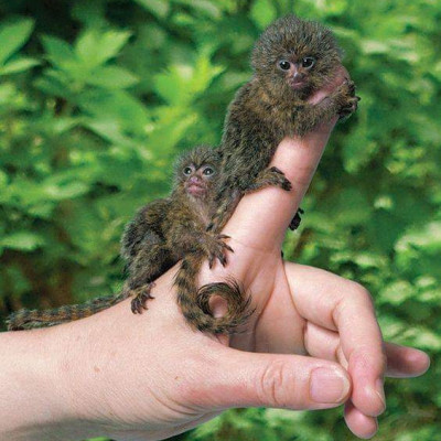 Here is a very beautiful image of the world's smallest Hanuman sitting on the tip of a human finger and here is a picture of the world's smallest animal Hanuman and a very extraordinary image of a jungle in Africa.
