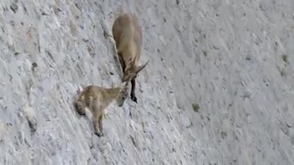 Mother_Mountain_Goat_Protect_Her_Baby_From_Snow_Leopard_Hunting.