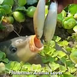 This_way_of_catching_fish_is_amazing.