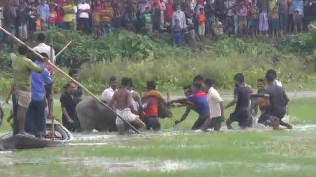 In the attack of Indian mad buffalo at Baralekha of Moulvibazar