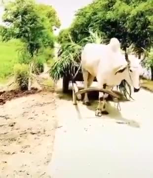 How beautifully a cow is being trained and made to work by her