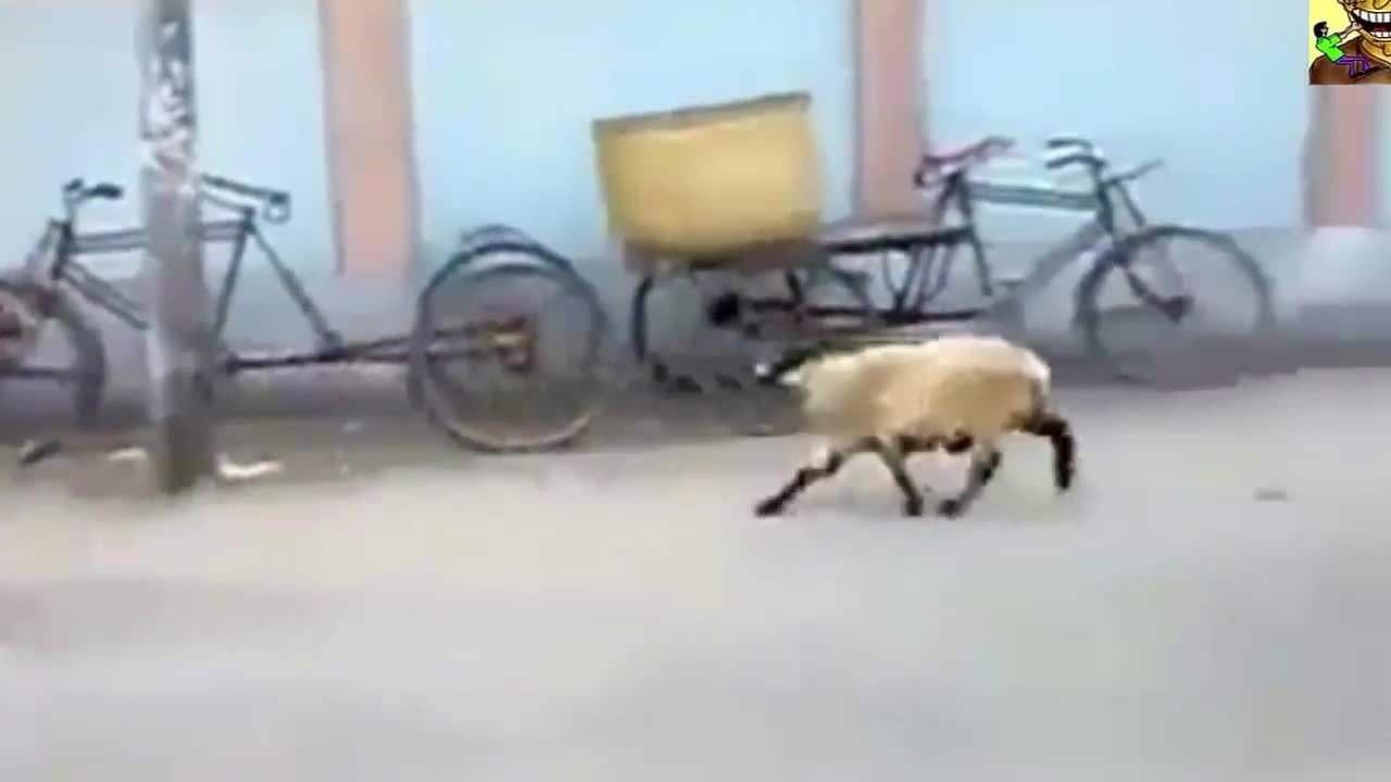 A sheep funny video and its various people chasing