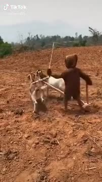 New invention of plowing with goats
