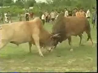 Bullfighting is a traditional sport in rural areas