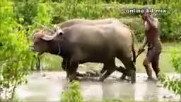 A buffalo cart is carrying paddy home from the field