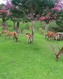 Here is a video of many deer