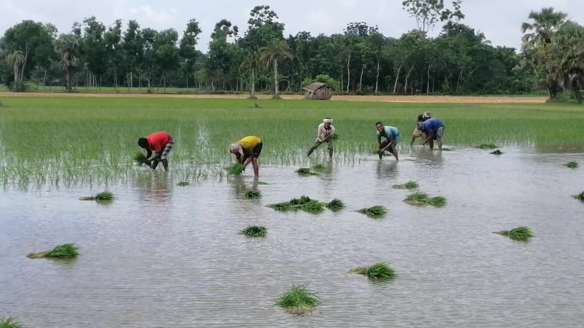 planted paddy