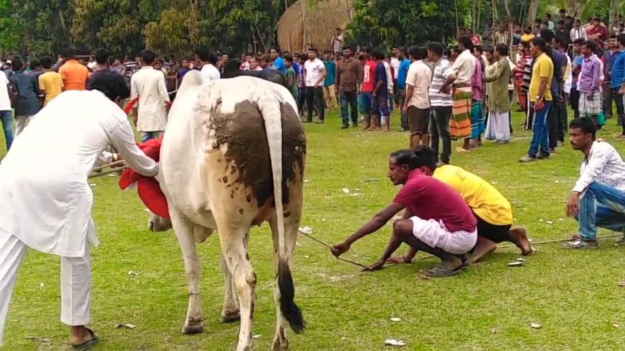 Traditional cow racing competition.