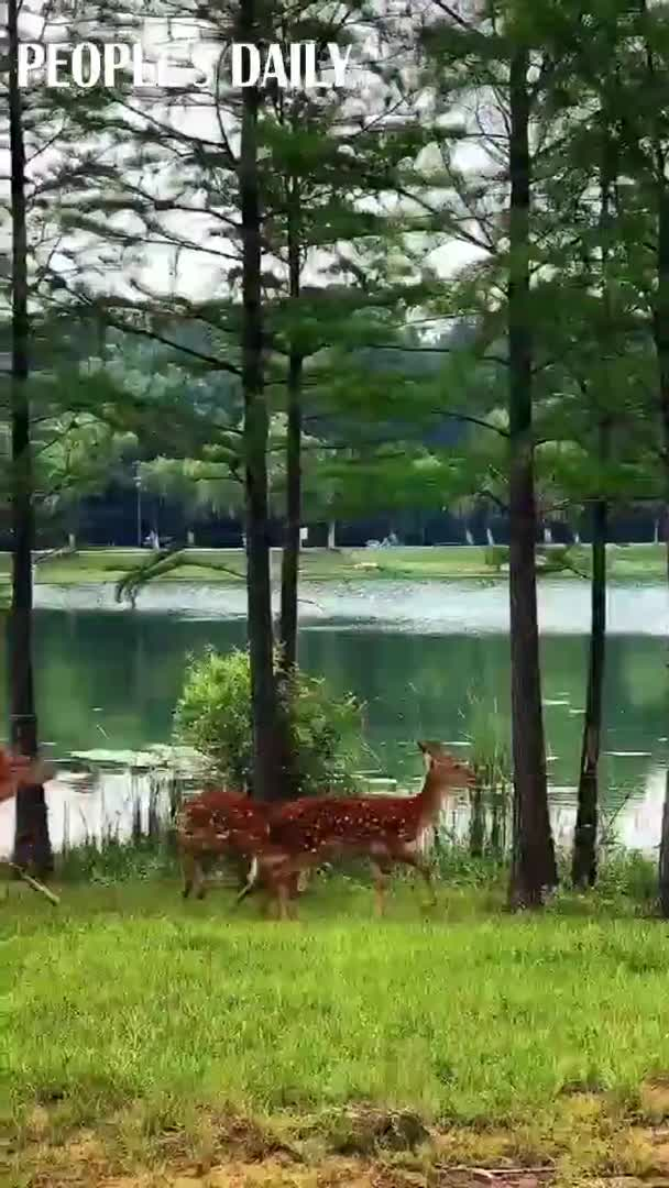 A video of many beautiful deer roaming in a park.
