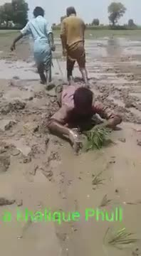Planting paddy in a fancy technique.
