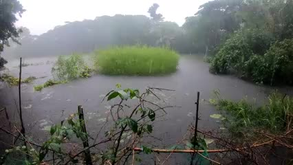 It is raining heavily on the leaves of the video recorded during the rain at noon