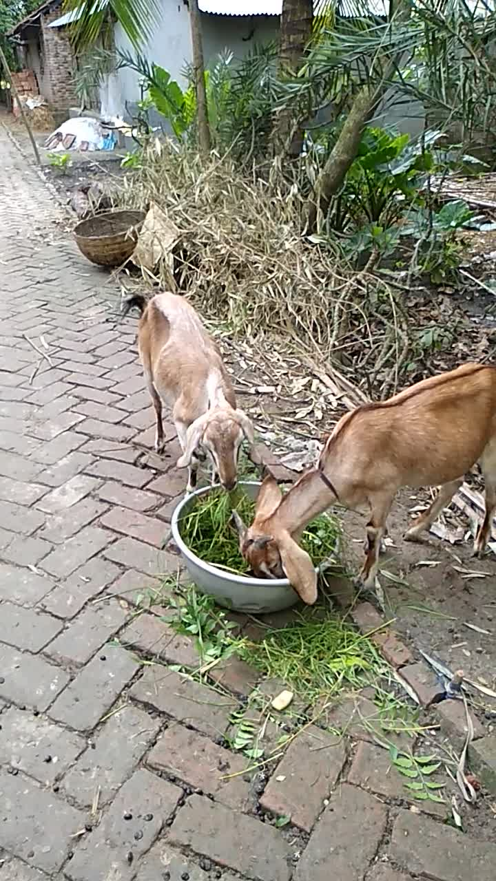 video of a goat eating grass