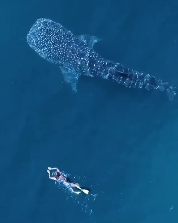 Swimming with the world's biggest fish.