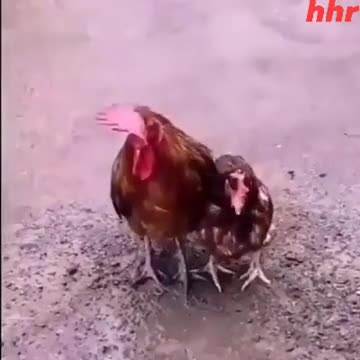The video you see on the screen is a video of the love of a chicken in the rainy season and the video of the mother.