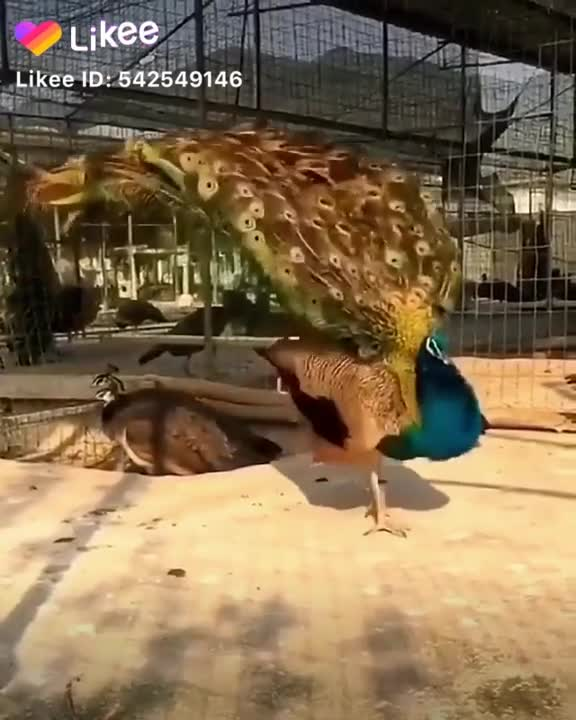 A peacock is beautifully matching its wings.