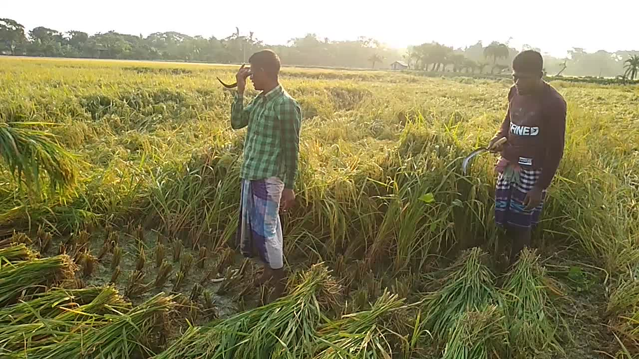here is a video of some people cutting paddy, the main crop of agriculture